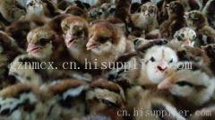 贵阳铁脚麻鸡苗养殖