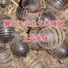 饲养地鳖虫的经济效益