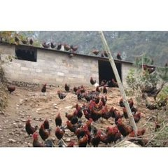 贵州鸡苗养殖场