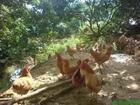 疏林草地放养土鸡技术要点