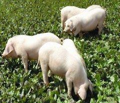 丹棱哪里有生态猪养殖基地