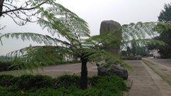 全国最大的桫椤树基地