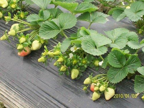 草莓生长周期_草莓生长过程图片