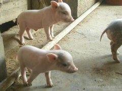 丹棱生态猪哪家好