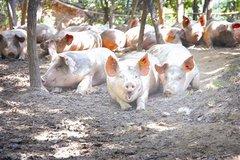 丹棱生态猪养殖基地在哪里