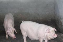 丹棱生态猪