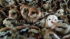 贵州铁脚麻鸡价格