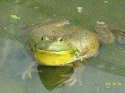 美国雄性种蛙