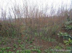 石榴苗种植
