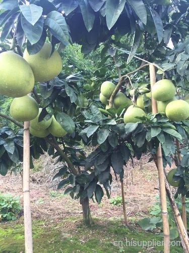 三红柚子苗销售市场在哪