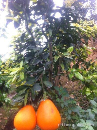 红金三号柚子苗种植季节