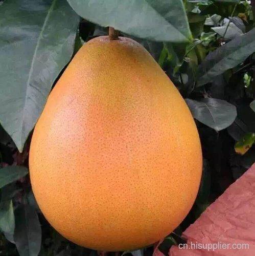红金三号柚子苗销售市场地址