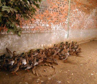 绿头鸭养殖