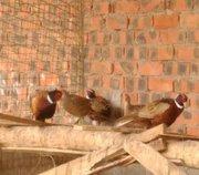 七彩山鸡养殖