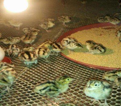 今日四川乐山和眉山的客户来七彩山鸡苗养殖基地考察