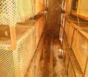 野山鸡苗养殖场浅谈野山鸡软脚的治疗