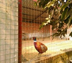 四川七彩山鸡专业养殖场在哪里