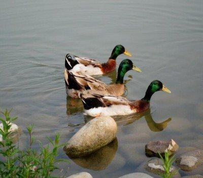 四川绿头鸭