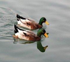 四川绿头野鸭养殖场在哪儿