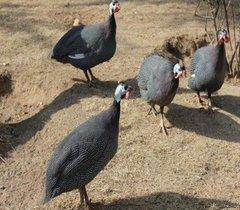 四川珍珠鸡哪里有卖的