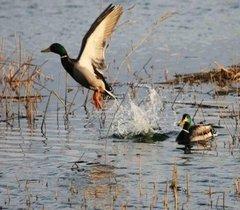 四川绿头鸭养殖场哪里有