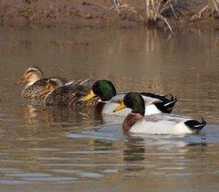 四川绿头鸭养殖场在哪儿