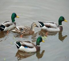四川绿头鸭养殖场热线