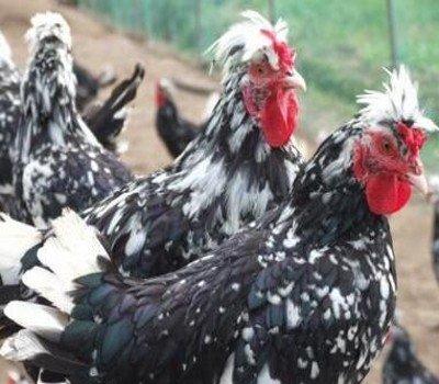 贵妃鸡养殖分析