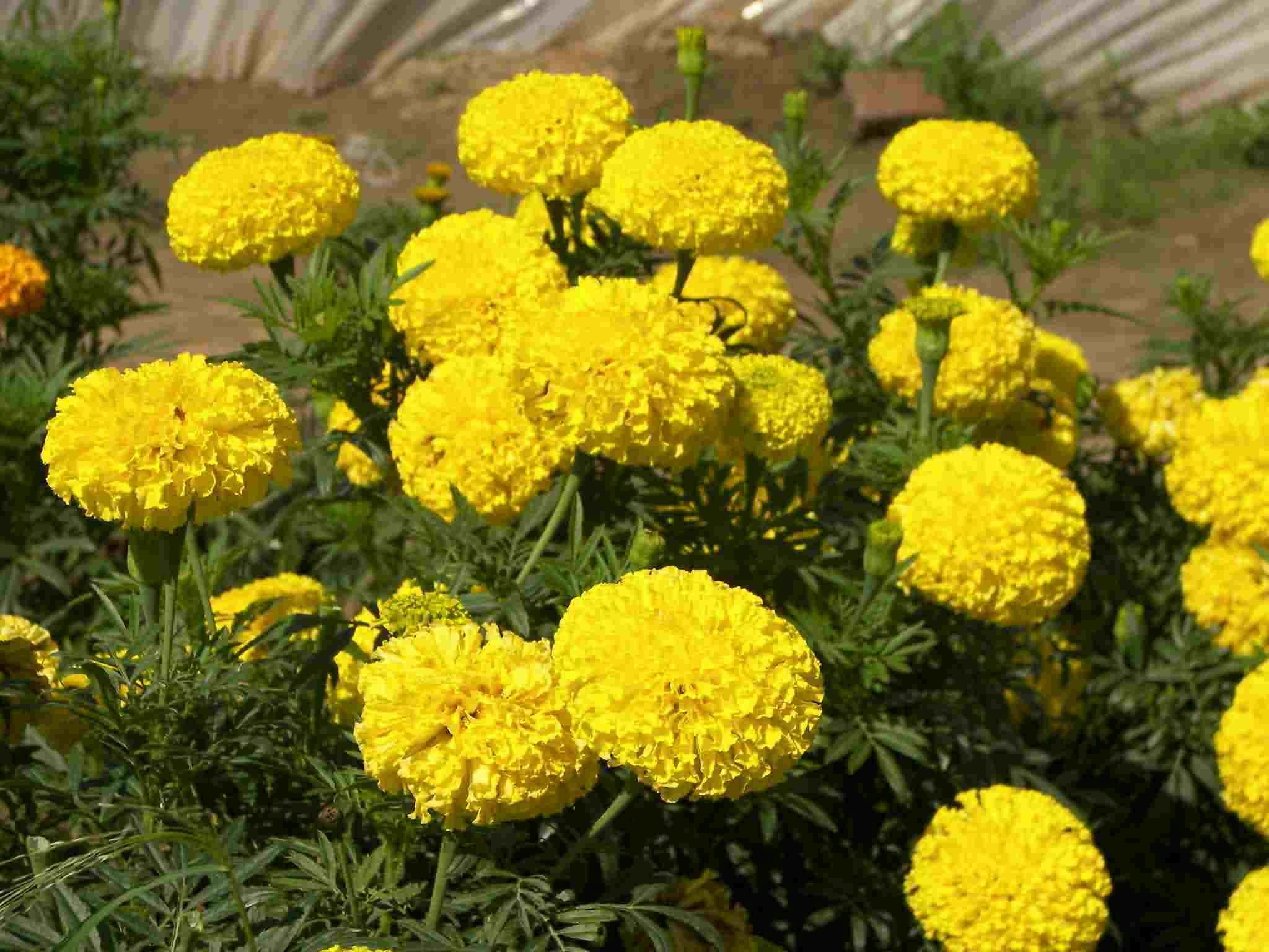 甘肃宿根草花、供应各种规格国庆菊