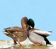 四川绿头鸭的生活习性和养殖环境
