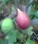 无花果的种植条件