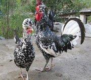 野山鸡苗养殖场浅谈鸡群放养模式