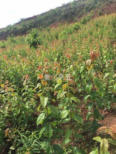 一点红李子苗栽种前景