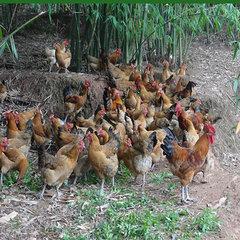 丹棱生态鸡
