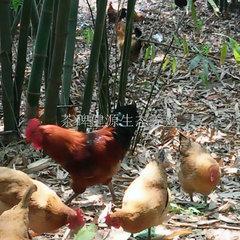 丹棱生态鸡养殖