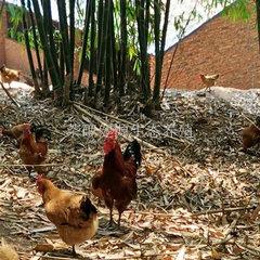 老峨山生态鸡