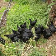生态黑鸡售价