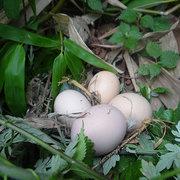 生态鸡蛋售价