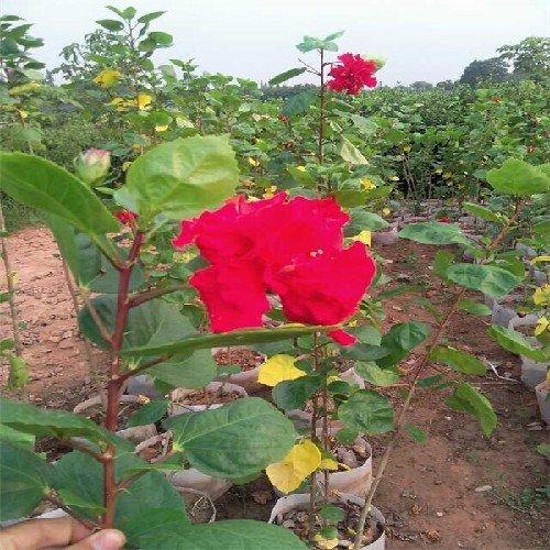 南宁绿化苗木:朱槿苗木长期供应