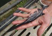 鸭嘴鲟鱼养殖有哪些技术要点