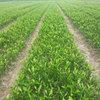 大雅柑苗生产供应