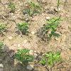 藤椒嫁接苗種植技術
