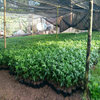 藤椒苗种植技术服务