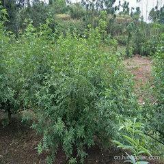 藤椒直生苗种植地