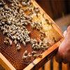 遵義蜂種批發價格