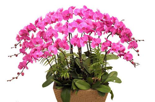 蝴蝶蘭的形態特征