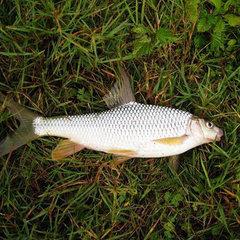 白甲魚多少錢一斤