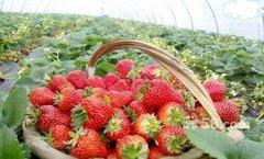 江北哪里有草莓基地