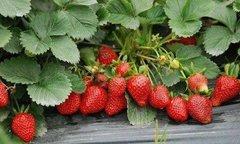 重庆哪里有草莓基地