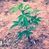 藤椒苗专业种植基地